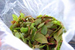 foglie di khat